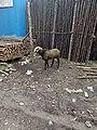 Goat-5-bangalore-India.jpg