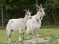 Goats Go Inspecting.