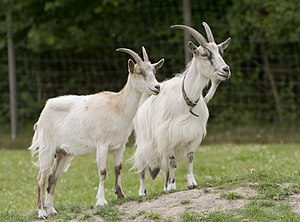 A pair of goats.