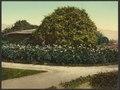 Gold of Ophir roses, Carmelita, Pasadena-LCCN2008678185.tif