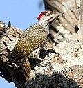 Golden-tailed Woodpecker - MALE, Campethera abingoni, at Borakalalo National Park, Northwest Province, South Africa, crop.jpg