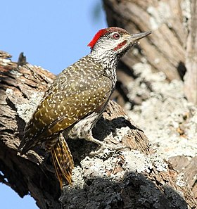 Golden-tailed Woodpecker - MALE, Campethera abingoni, at Borakalalo National Park, Northwest Province, South Africa, crop.jpg