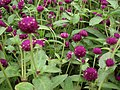 Gomphrena globosa from Lalbagh flower show Aug 2013 8121.JPG
