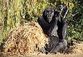 Gorilla Clapping (16005820291).jpg