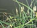 Græsser ved mølledammen (6767642299).jpg