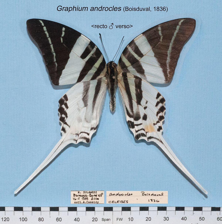 graphium androcles