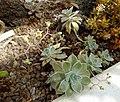 Graptopetalum paraguayense - Orto botanico - Rome, Italy - DSC00005.jpg