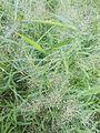 Grass flowers - 1.jpg
