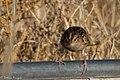 Grasshopper Sparrow (fall plumage) Curly Horse Ranch Rd Sonoita AZ 2017-12-16 09-28-28 (25252082128).jpg