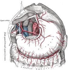A. cystica je větví a. hepatica dextra