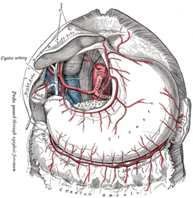 The celiac artery and its branches; the liver has been raised, and the lesser omentum and anterior layer of the greater omentum removed. (Right gastroepiploic artery visible at lower left.)