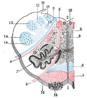 Inferior vestibular nucleus