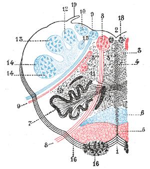 Arcuate nucleus (medulla) - Image: Gray 700