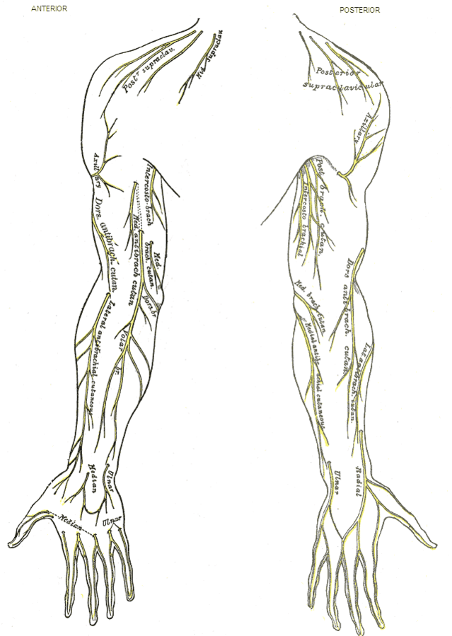 Dermatoom (anatomie) - eAnswers