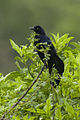 Great-tailed Grackle - Texas - USA H8O0430 (23521430329).jpg