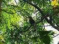 Great Hornbill - Buceros bicornis - P1030671.jpg
