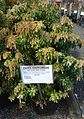 Great Swamp Greenhouse photos Pieris Andromeda Mountain Fire.JPG