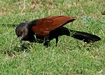 Greater Coucal (Centropus sinensis) in Hyderabad W IMG 8963.jpg