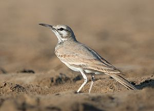 Greater hoopoe-lark - Individual from Little Rann of Kutch
