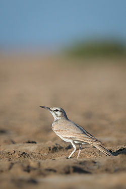Greater Hoopoe Lark.jpg