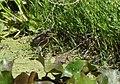 Green Heron (juvenile) (35481406211).jpg