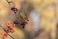 Greenfinch Lodz(Poland)(js)06.jpg