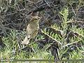 Greenish Warbler (Phylloscopus trochiloides) (49278777153).jpg