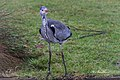 Grey Heron Bushy Park (39087517825).jpg