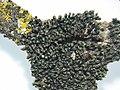 Grimmia alpestris.jpeg