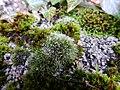 Grimmia pulvinata 107441890.jpg