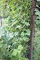 Groseillier sur grillage (groseilles vertes).JPG