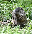 Groundhog (46936500745).jpg