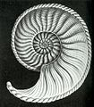 Haeckel Amaltheus margaritatus.jpg