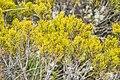 Halocarpus bidwillii in Rangipo Desert 01.jpg