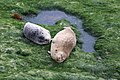 Harbor seal mom and pup (33228801780).jpg