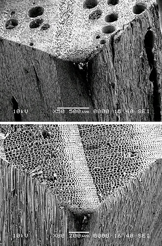 Hardwood - SEM images showing the presence of pores in hardwoods (oak, top) and absence in softwoods (pine, bottom)