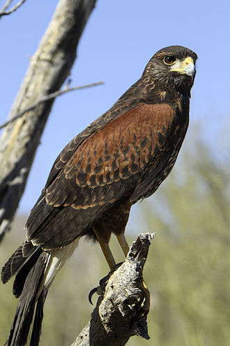 Harris's hawk - Image: Harris's Hawk (Parabuteo unicinctus) 3 of 4 in set