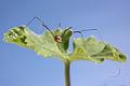 Harvestman leiobunum blackwalli female.jpg