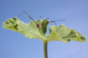 Harvestman leiobunum blackwalli female.jpg