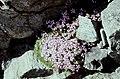 Hautes-Alpes Vieux Chaillol Fleurs 081990 - panoramio.jpg