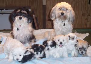 Havanese Dog Family