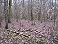 Hazel and oak, Bubbenhall Wood - geograph.org.uk - 1709276.jpg
