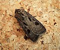 Heart and Dart. Agrotis exclamationis (43333574565).jpg