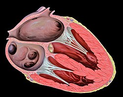 Heart tee four chamber view.jpg