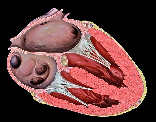 chordae tendineae - wikiwand, Human Body