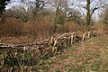Hedge laying - geograph.org.uk - 380736.jpg