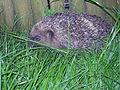 Hedgehog 3 (3775542365).jpg
