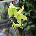 Heliamphora nutans-IMG 0452.jpg