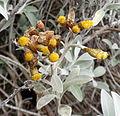 Helichrysum obconicum kz1.JPG