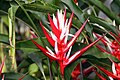 Heliconia angusta Red Holiday 0zz.jpg